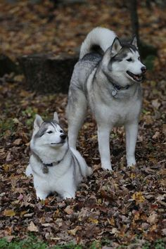 Siberian Huskies in the colored autumn leaves