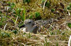Rock Sandpiper on nest. - Doug https://www.facebook.com/photo.php?fbid=520990337929343=a.464194920275552.120706.355103211184724=3