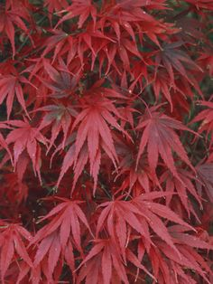 A Japanese Maple Provides Vibrant, Deep Hues in the Fall --> http://www.hgtvgardens.com/photos/trees-photos/color-blast-japanese-maple?soc=pinterest