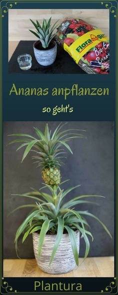 Ananas anpflanzen: Vermehrung & Anbau (Anleitung Step by step instructions: Plant pineapple! Garden Plants Vegetable, Vegetable Garden For Beginners, Planting Vegetables, Gardening For Beginners, Gardening Tips, Amazing Gardens, Beautiful Gardens, Pineapple Planting, Comment Planter