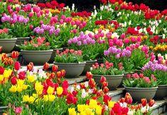 тюльпаны в горшках в композициях