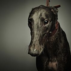Looks like my greyhound, such beautiful creatures.