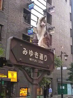 Cat grooming itself on a road sign in the Ginza shopping district in Tokyo, Japan. He is  popular with tourists and does't mind being photographed and fawned over for hours at a time. See the complete photo series at http://travelling-cats.blogspot.be/2014/02/cats-from-tokyo-japan.html