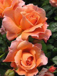 """Loretta Lynn"" rose - An ever-blooming floribunda known for its deep, rich apricot colour. Its buds open into a cottage-style flower, and the shrub grows to about two feet tall and wide, an ideal size for most gardens and large containers. Hybridized by Brad Jalbert."