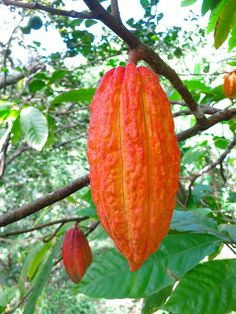 Cacao Pod on a branch Exotic Fruit, Tropical Fruits, Rare Plants, Exotic Plants, Trees To Plant, Plant Leaves, Cacao Fruit, Chocolate Tree, Cash Crop