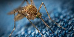 Zika Virus causes Microcephaly and is present in microcephalic fetuses.Rarely, Zika virus also causes Guillain-Barre Syndrome. The vector is Aedes mosquito. Virus Del Zika, Valley Fever, Mosquito Plants, Deadly Animals, Mosquito Control, Pest Control, Dengue, San Diego, Citronella