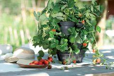 grow your own sweet strawberries #elho #greenbasics #growyourown #healthy #fruit #sweet #strawberries #fun #elhofeeling