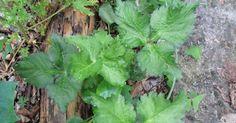 Minha primeira muda de mitsuba ( Cryptotaenia japonica ) eu ganhei num dos pic-nic de troca de mudas e sementes que acontecem periodi...