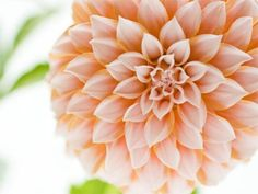 25 Free Flower Wallpapers to Brighten Your Day: Creamy Dahlia Flower by Wallcoo.net