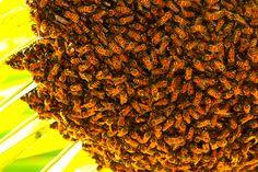 Une colonie d'abeilles est venue s'installer quelques heures sous les branches d'un palmier.