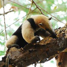 Anteater having lunch
