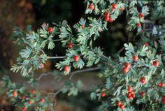 Tree, Rosaceae Crataegus laciniata Colorful Shrubs, Garden Ideas, Trees, Plants, Projects, Image, Lantern, Log Projects, Blue Prints