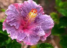 hibiscus lilás