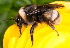 By Harvey Black Bombus occidentalis used to be the most common bumble bee species in the Pacific Northwest, but in the mid 1990s it became one of the rarest. The reason or reasons for the species d...