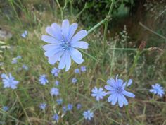 the blue little flower near home