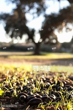 Ground of dehesa full of fallen acorns from holm oak trees at sunset, Extremadura, Spain