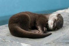 Cute Kawaii Animals, Cute Funny Animals, Cute Baby Animals, Wild Animals, Otters Cute, Baby Otters, Significant Otter, Susanoo Naruto, Otter Love