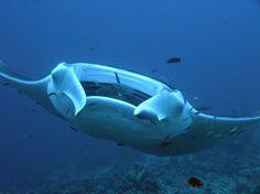 Raie manta des Maldives