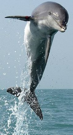 Image gratuite sur Pixabay - Dauphin, Saut, Bondissant, Natation - My list of the most beautiful animals Beautiful Sea Creatures, Animals Beautiful, Beautiful Beautiful, Cute Baby Animals, Animals And Pets, Strange Animals, Dolphin Facts, Water Animals, Animals Sea