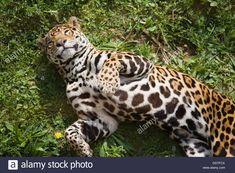 Descargar esta imagen: Jaguar (Panthera onca). - DDTFCX de la biblioteca de Alamy de millones de fotografías, ilustraciones y vectores de alta resolución. Jaguar, Animals, Wild Animals, Pictures, Illustrations, Animales, Animaux, Animal, Animais