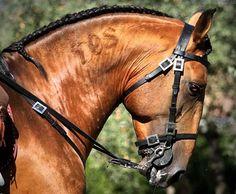 Professional Horse Photography | Etalons BETHOVEN CSM Lusitanien | RReproduction, centre de reproduction équine