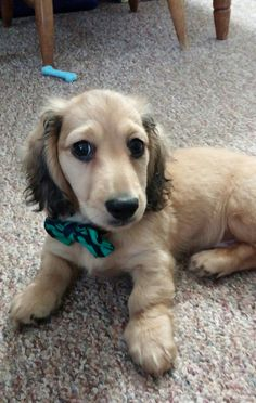 Long haired shaded English cream miniature dachshund (Breeder: Reevesdachs.com)