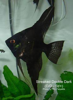 Dark angelfish