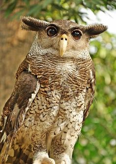 """Barred Eagle Owl, Sumatra. Visit Facebook: """"Animals are Awesome"""". Animals, Wildlife, Pictures, Photography, Beautiful, Cute."""