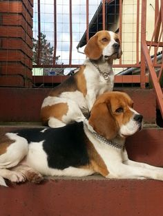 My beagles!