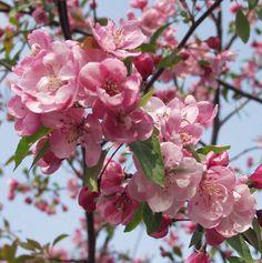 omenapuu Aamurusko