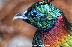 Himalayan Monal Pheasant male /  National bird of Nepal Sylvan Heights Bird Park Scotland Neck North Carolina  Tagged: bird nature photography