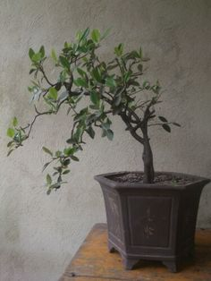 Bonsai holly piracanta Venta y mantenimiento en bogota (57)3125874074 Email: majesticflowers.sas@gmail.com Warm Outfits, Mendoza, Best Cities, Four Square, Things To Do, Plants, Dwarf Trees, Bogota Colombia, Hot Clothes
