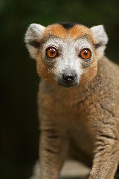 crowned lemur (9) | Flickr - Photo Sharing!