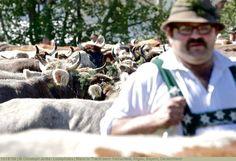 Mann in Tracht beim Viehscheid, Allgäu, Bayern, Deutschland