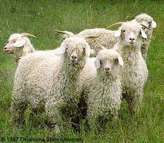 Angora goats- they give us beautiful mohair and cashmere