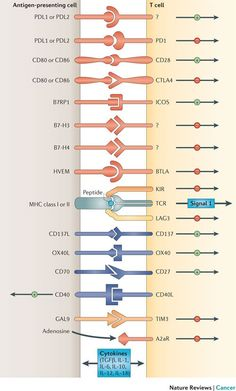 Depicted are various ligand–receptor interactions between T cells and antigen-presenting cells (APCs) that regulate the T cell response to antigen (Credit: Drew M. Pardoll/Nature Reviews Cancer)