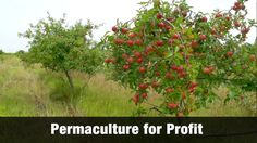 Imagine you owned your own farm planted full of apple trees. You used No herbicides. No fungicides. No pesticides and No industrial fertilizers. The trees were treated with Sheer Total Utter Neglect and still bore copious amounts of fruit. How is that possible? In this video, Geoff Lawton visits Mark Shepard's Permaculture farm in Wisconsin to discover his secrets of profitably growing apples using his STUN system. It's the best 15 minutes... Read More