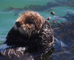 Sea Otter's Just Chilling Out Via J. Maughn [Monterey Co., CA, USA]