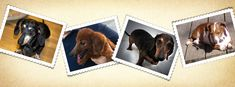 Another TX one -- lots of dachshunds need help!