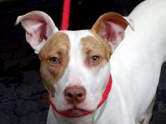 TO BE DESTROYED 10/8/13 Manhattan Center - P My name is VICTORIA. My Animal ID # is A0979971. I am a female white and brown pit bull mix. The shelter thinks I am about 2 YEARS old. https://www.facebook.com/photo.php?fbid=680387155307500&set=a.611290788883804.1073741851.152876678058553&type=3&theater