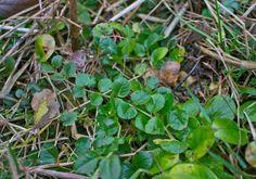 Pfennigkraut - essbare Wildpflanzen im Winter