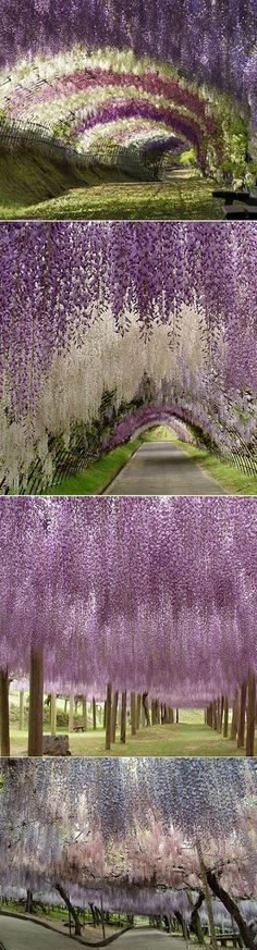 Wonderful racemes of Wisteria on tunnel in Japan. Waterfall effect magical to the eyes and i imagine walking underneath it the scent must help create a sensory heaven.