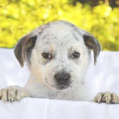 Meet Duranzo, an adoptable Australian Cattle Dog (Blue Heeler) looking for a forever home. If you're looking for a new pet to adopt or want information on how to get involved with adoptable pets, Petfinder.com is a great resource.