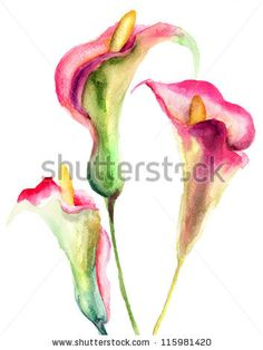 Calla Lily flowers, watercolor illustration by Regina Jershova, via Shutterstock