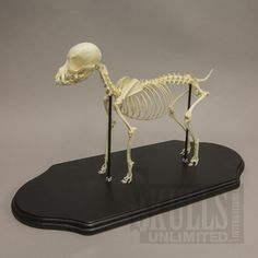 WOK-4171: Domestic Dog Skeleton - Chihuahua  (Natural Bone)
