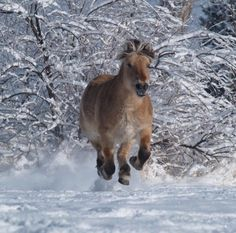 fjord horse | Norwegian Fjord Horse