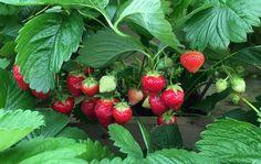 Få de bedste og flotteste jordbær i din have - Læs mere her Strawberry Fields Forever, Hothouse, Beach Bars, Edible Garden, Summer Garden, Fruits And Vegetables, Gardening Tips, Urban Gardening, Greenery