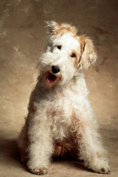 Most Successful Dog Breeds Fox terrier. Fox Terriers, Perro Fox Terrier, Wire Fox Terrier, Wheaten Terrier, Terrier Dogs, Terrier Mix, Animals And Pets, Cute Animals, Mundo Animal