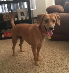 Hi, My name is Jax! I am a Brown short haired Male Labrador Retriever / Dachshund mix Dog. I am just 3 years old and weigh only 35lbs. I live in Chandler AZ with my family, who love me very
