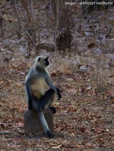 Gray langurs or Hanuman langurs, the most widespread langurs in the Indian subcontinent, are a group of Old World monkeys constituting the entirety of the genus Semnopithecus.